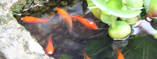 金魚は食べません(^_^;)